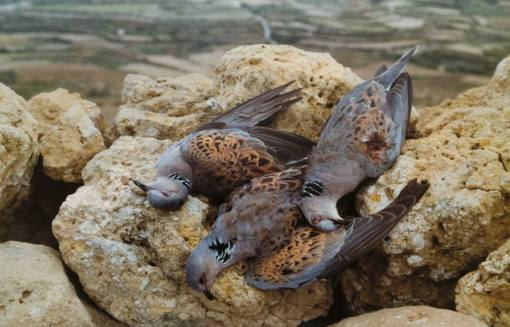 turtle doves just shot